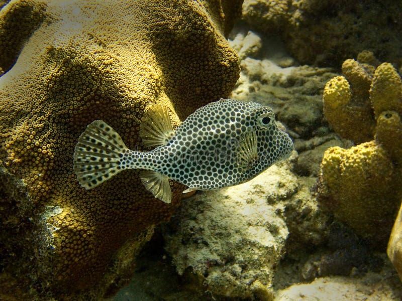 Trunkfish manchado fotografia de stock