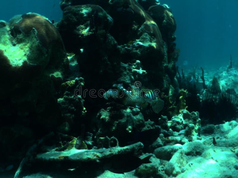 Trunkfish repéré images libres de droits