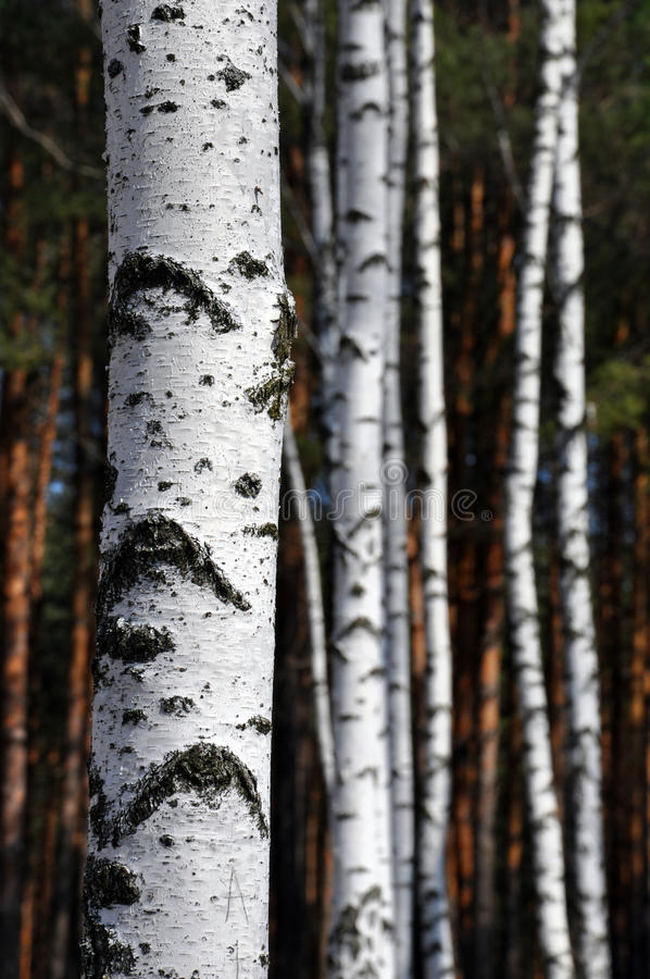 Trunks of birch trees. Against the background of pine trees royalty free stock photo