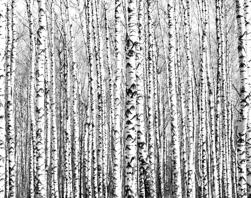 Trunks of birch trees black and white stock photos