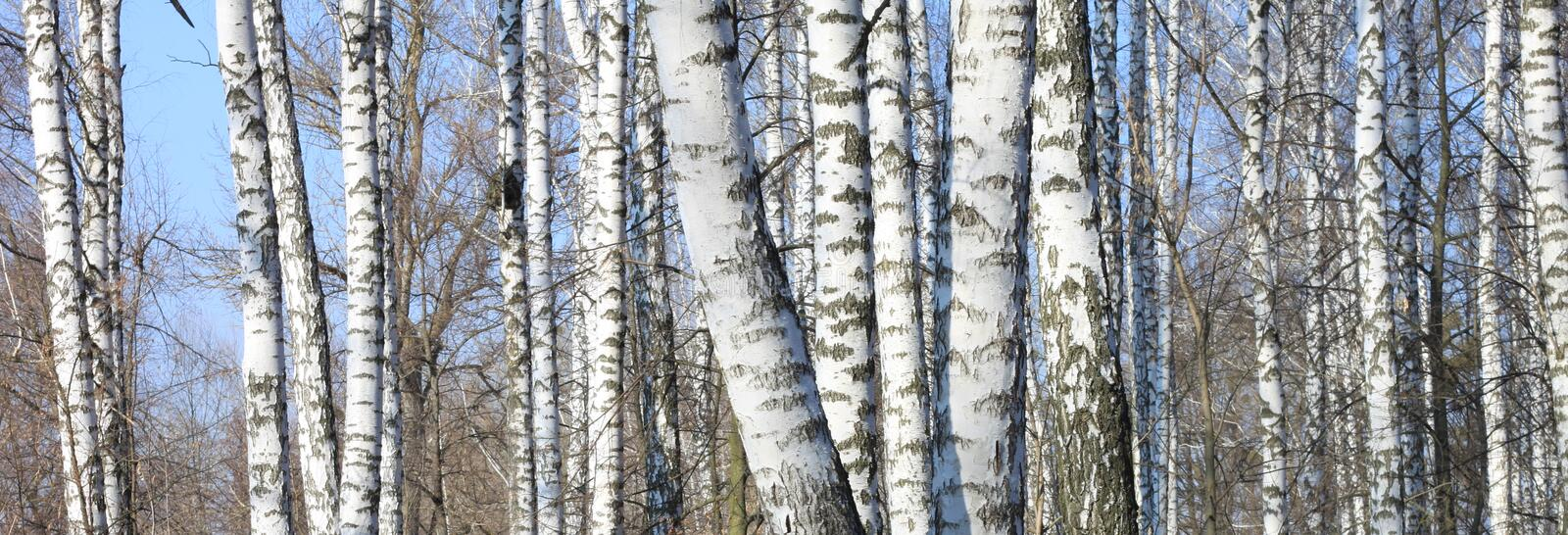 Birch trees in forest. Trunks of birch trees in forest royalty free stock photography