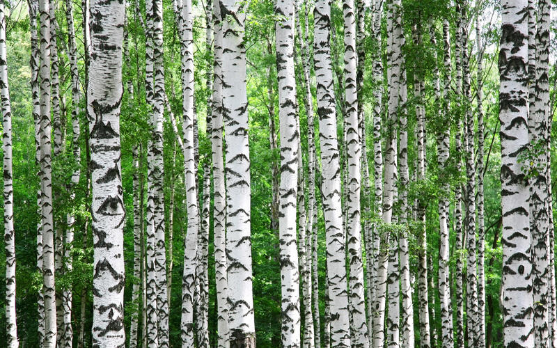 Trunks of birch trees in summer. Trunks of birch trees in spring in July royalty free stock photo