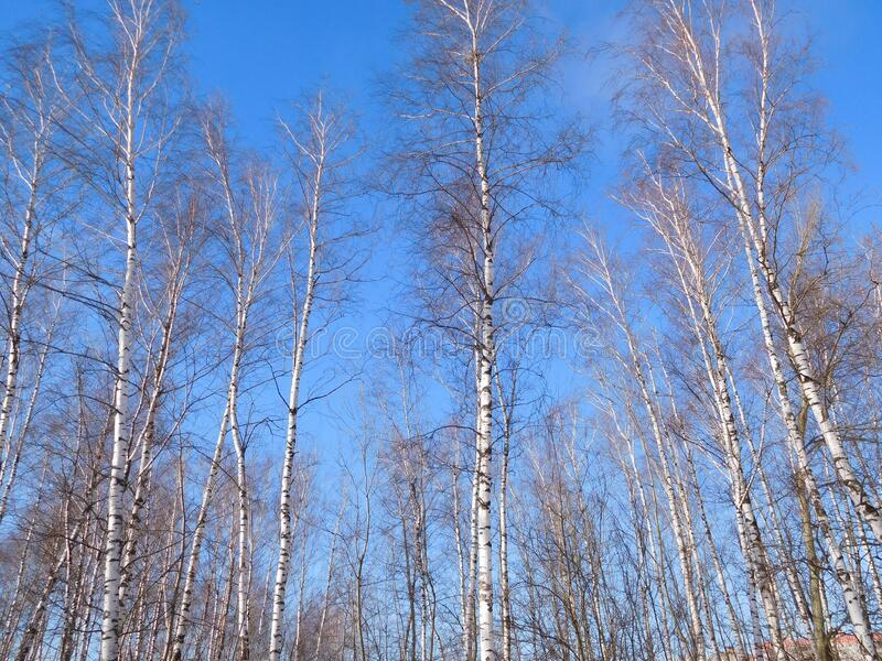 White birch trees against the sky royalty free stock photography