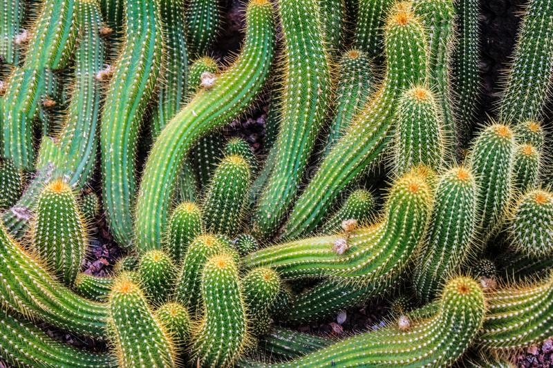 The cactus plants on the rocks. The trunks and branches of cactus plants stock photography