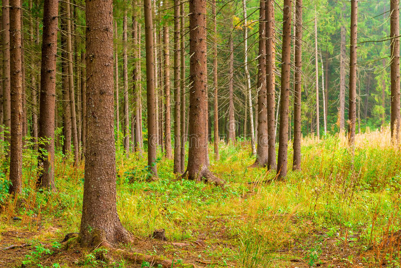 Trunks with branches sticking out the tall pines stock photography