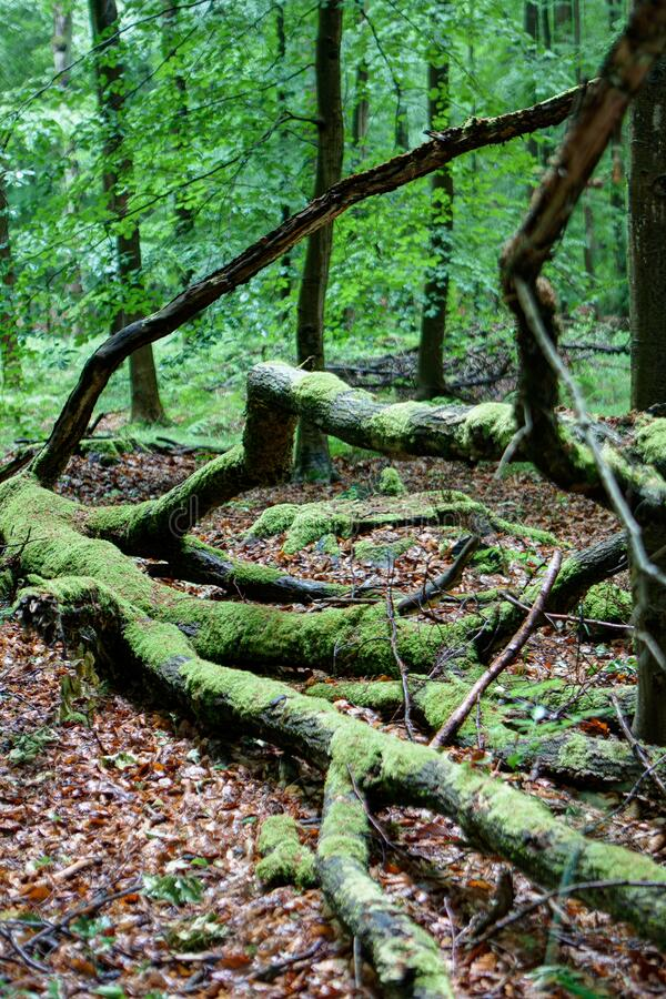 Trunks branches trees moss Sonian forest, Brussels, Belgium stock photography