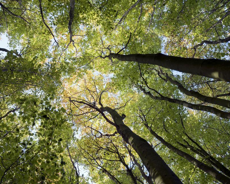 Trunks and colorful autumn leaves of beech trees in forest of amelisweerd near utrecht stock photography