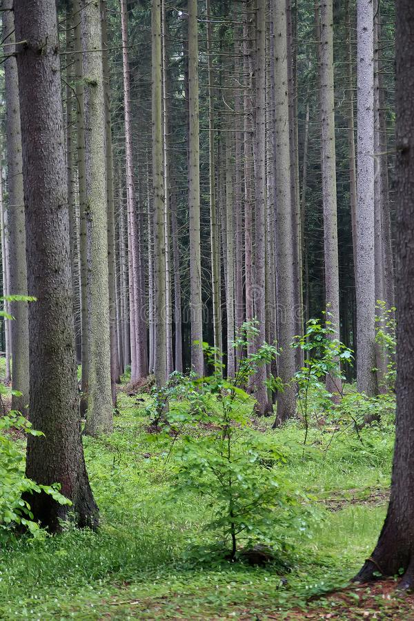 Trunks of conifers trees side by side in the black forest royalty free stock photos