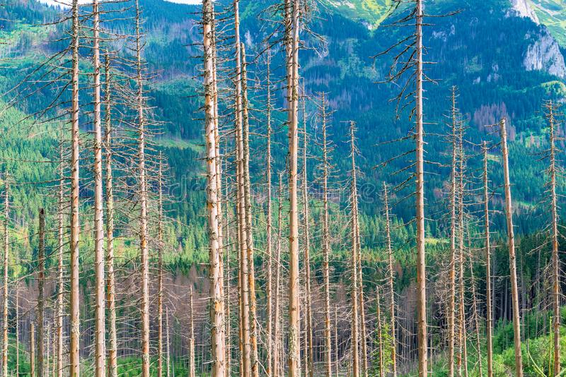 Trunks of dry pine trees against the backdrop of mountains royalty free stock photos