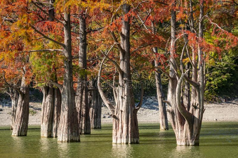 The trunks of moss cypresses are completely unique in their beauty and texture. A group of swamp cypress Taxodium distichum stock photo