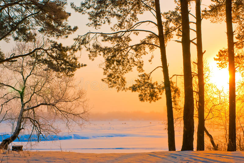 The trunks of the pines on the shore of a frozen lake. In the rays of the rising sun stock images