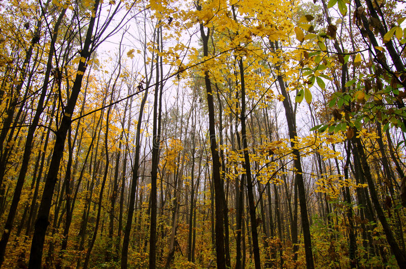 Trunks of trees autumn forest royalty free stock image