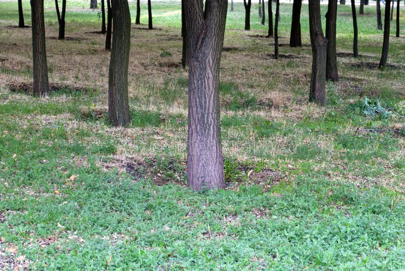 Trunks of trees in the park, on a background of green grass, a group of trees. Holes, sunny day royalty free stock photography