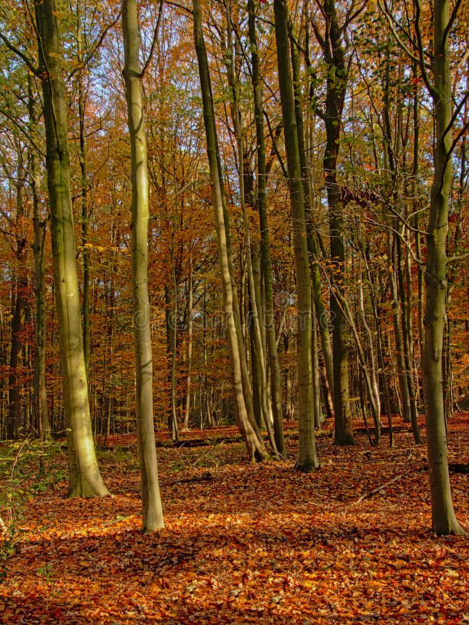 Trunks of young beech trees and foliage in the autumn forest royalty free stock photos
