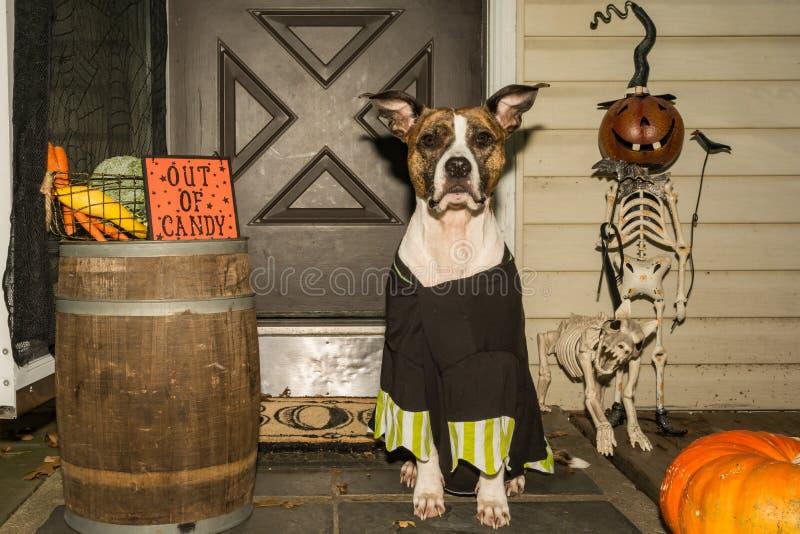 Truque ou tratamento de Staffordshire bull terrier do americano foto de stock