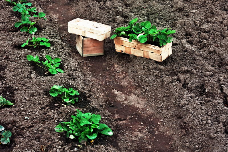Truskawek rośliny w pudełkach zdjęcie royalty free