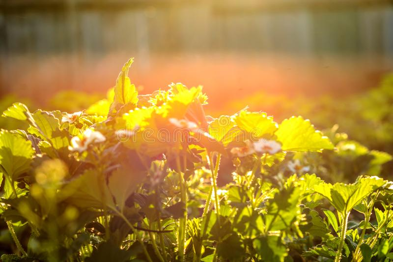 Truskawka kwitnie wśród truskawkowych krzaków w ogródzie obraz royalty free