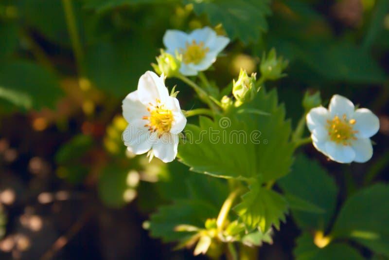 Truskawka kwitnie w jaskrawym ?wietle s?onecznym na zielonym tle zdjęcia royalty free