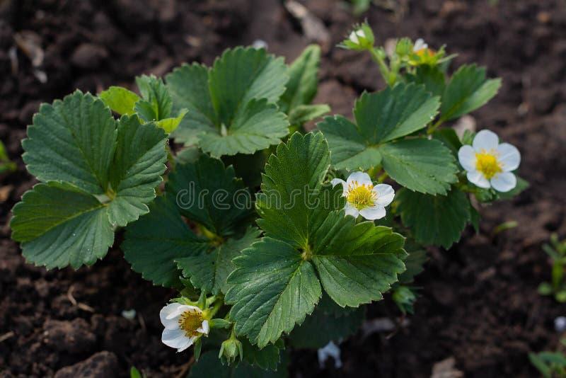 truskawka kwitnie w ogr?dzie, biali truskawka kwiaty na tle zieleni li?cie obrazy stock