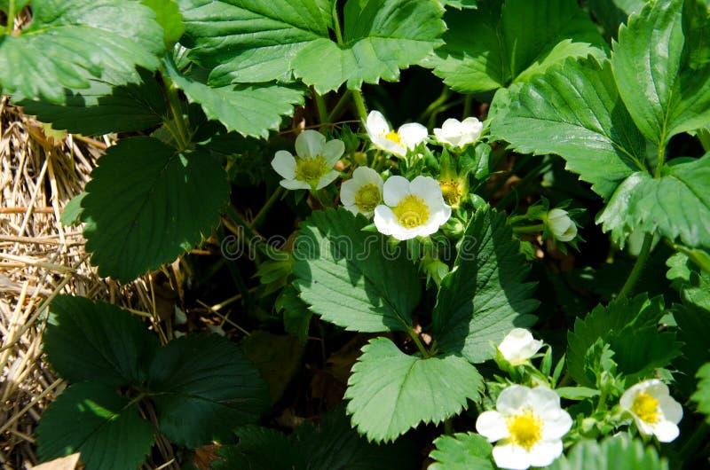 Truskawka kwitnie z białymi kwiatami w ogródzie fotografia stock