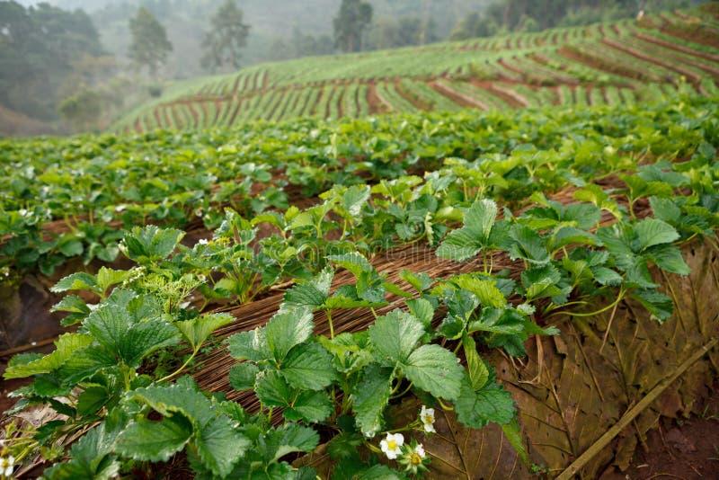 Download Truskawka Ogród W Ranku Przy Doi Ang Khang, Chiang Mai, Tajlandzki Zdjęcie Stock - Obraz złożonej z roślina, owoc: 53783658