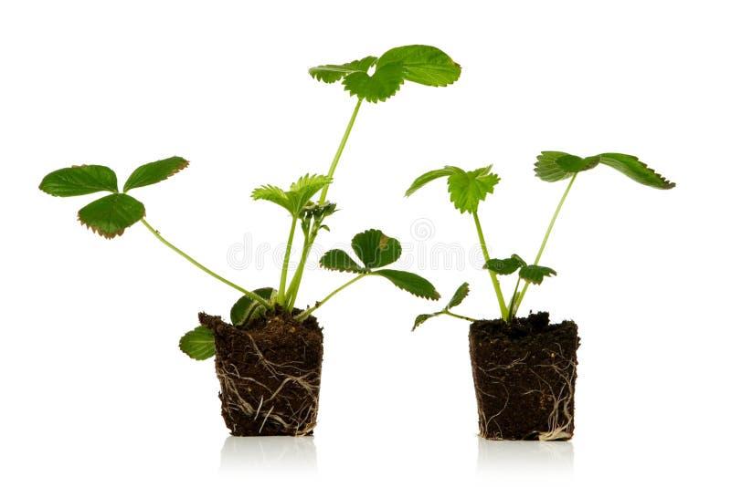 truskawka roślin obrazy stock