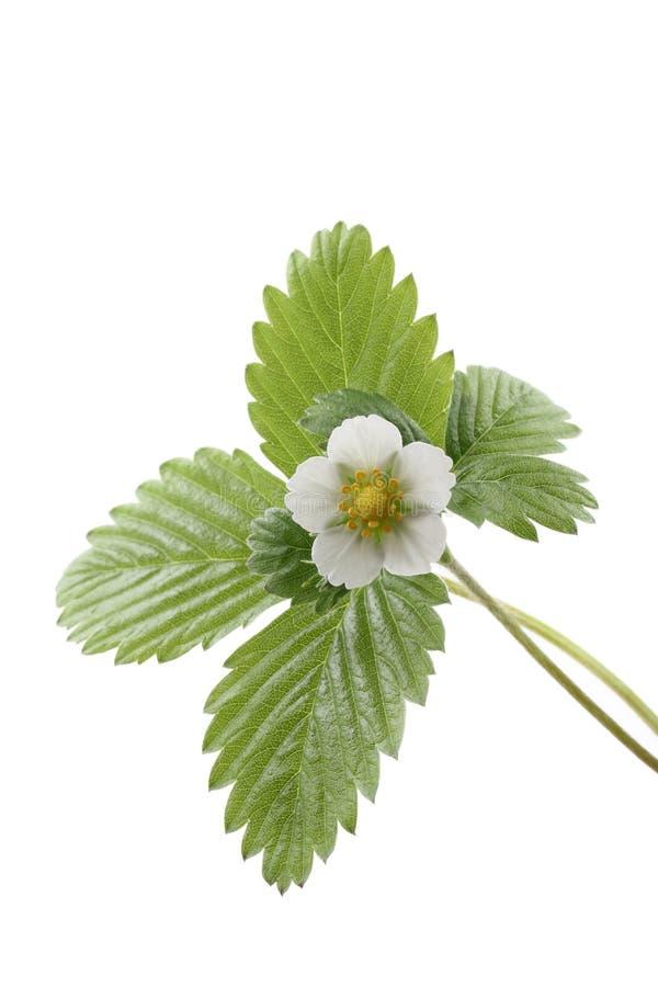 truskawka roślin zdjęcia royalty free