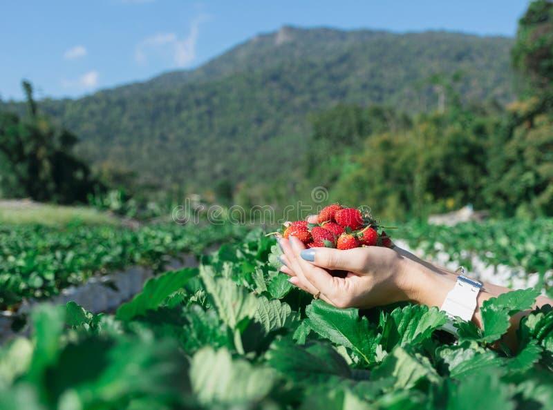 Truskawka w ręce owocowy rolnik zdjęcia royalty free