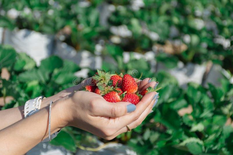 Truskawka w ręce owocowy rolnik obraz royalty free