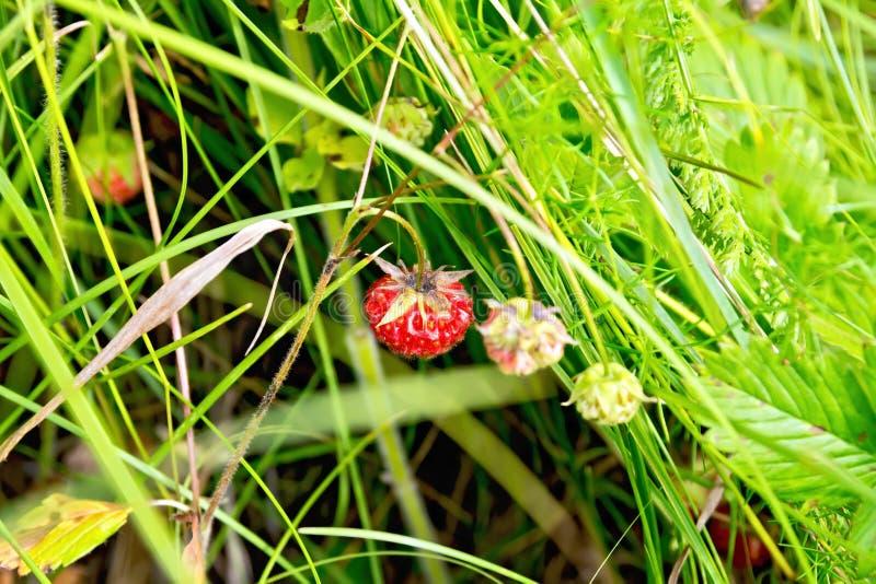 Truskawki dojrzałe w trawie fotografia stock