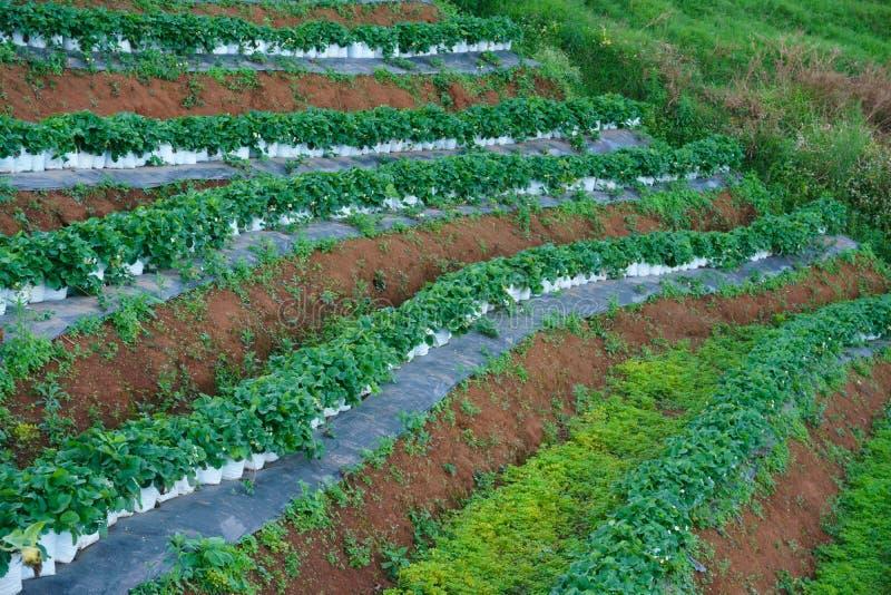 Truskawki gospodarstwo rolne, rolnictwa truskawki pole gospodarstwo rolne obrazy stock