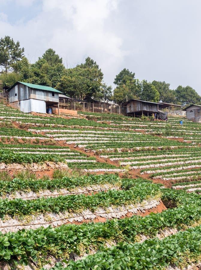Truskawki gospodarstwo rolne z plantatora domem obraz royalty free