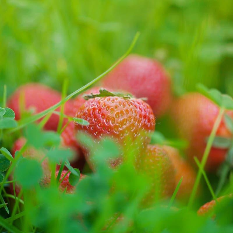 Truskawki na zielonej trawie fotografia royalty free