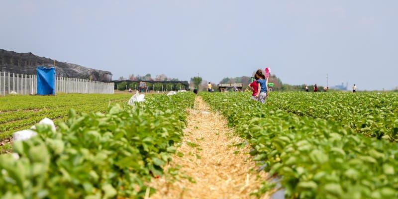 Truskawki pole w wiosce Kisac fotografia stock