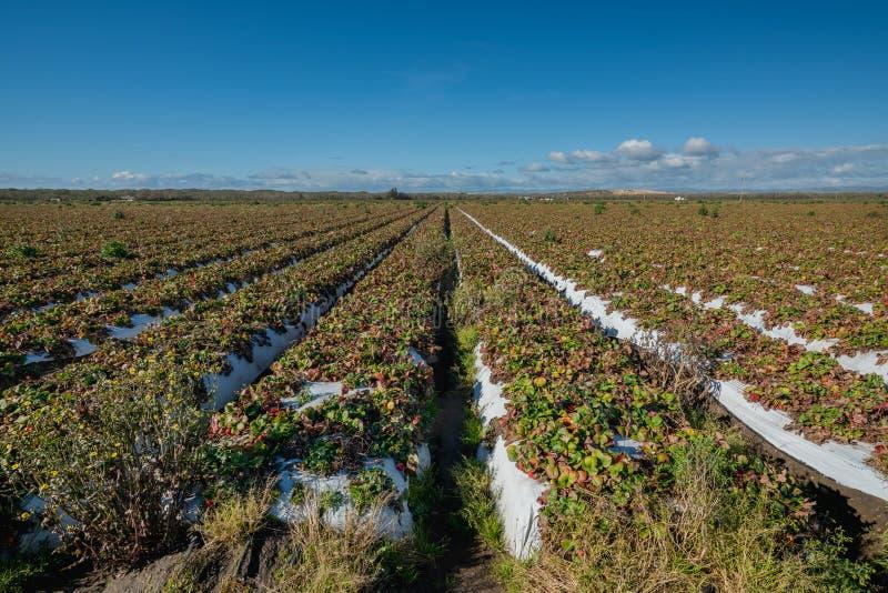 Truskawki pole z dojrzałymi jagodami obraz stock