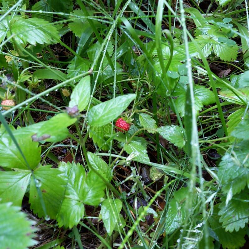 Truskawki w trawie obrazy stock