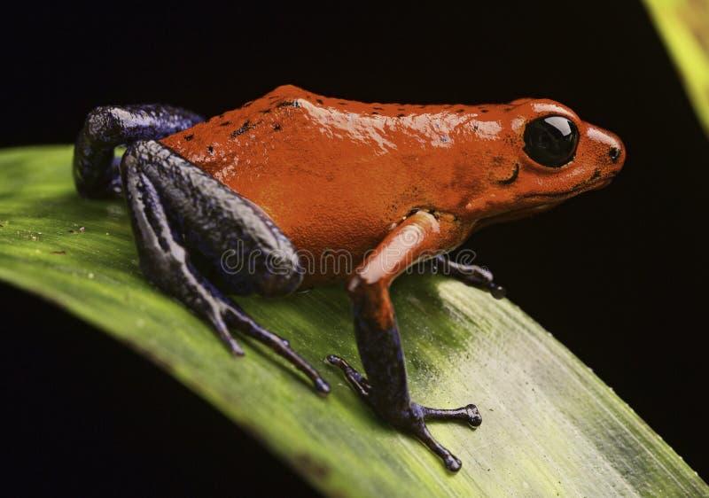 Truskawkowa jad strzała żaba obrazy stock