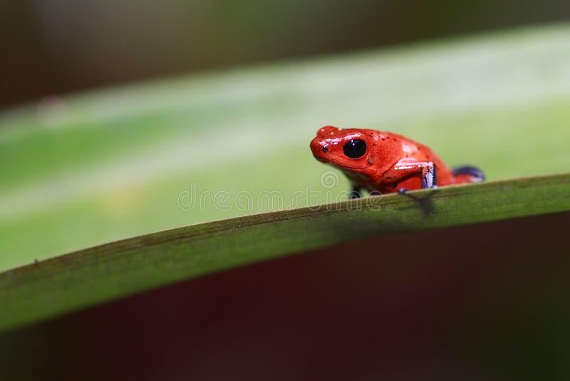 Truskawkowa jad strzałki żaba zdjęcia stock