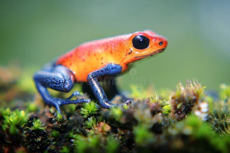 Truskawkowa jad strzałki żaba fotografia stock