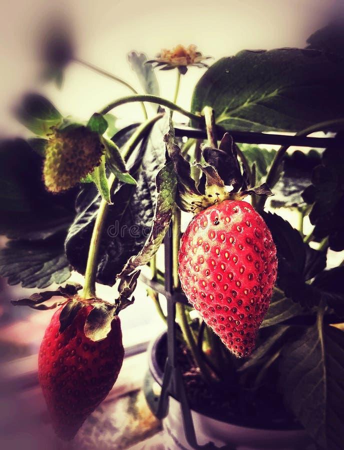 Truskawkowa roślina z dojrzałymi owoc dalej zdjęcia stock