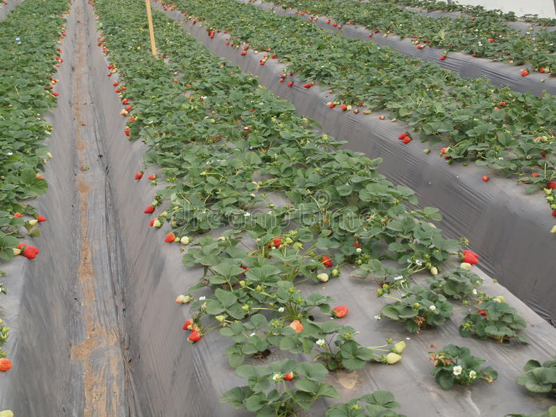 Truskawkowa Szklarniana Izrael Arava owoc ekologia fotografia royalty free