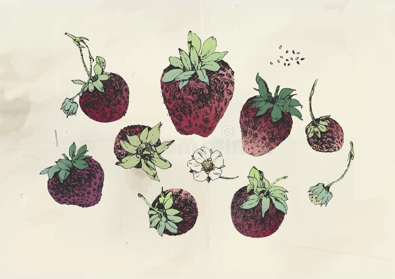 Truskawkowe owoc i truskawkowy kwiat royalty ilustracja