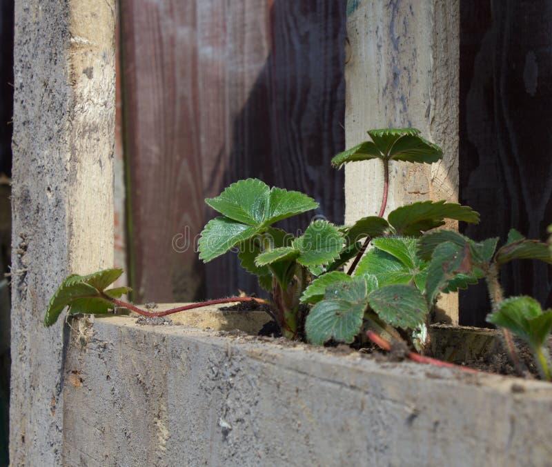 Truskawkowe rośliny w barłogu plantatorze obraz stock