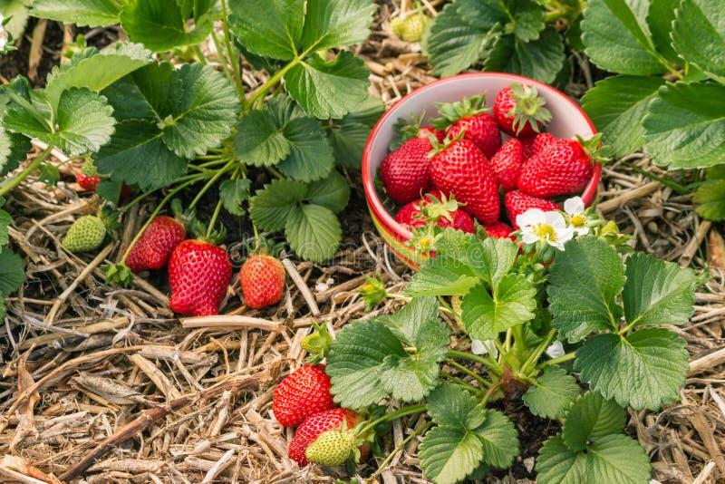 Truskawkowe rośliny z dojrzałymi truskawkami, kwiatami i pucharem truskawki, zdjęcia royalty free