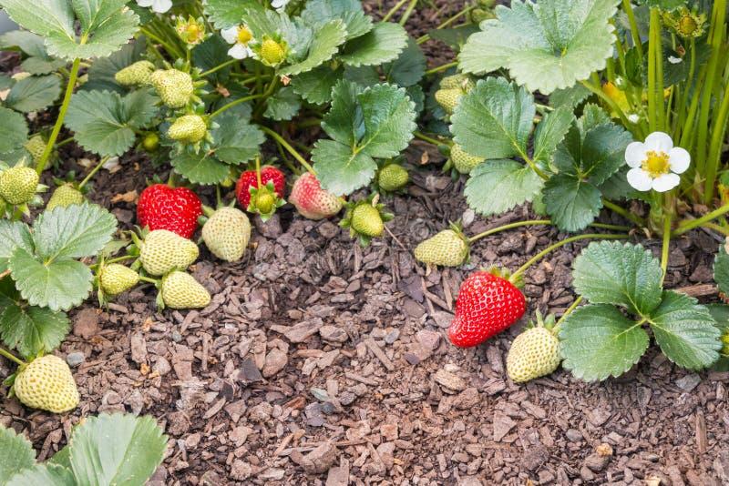 Truskawkowe rośliny z dojrzałymi truskawkami r w organicznie ogródzie fotografia stock