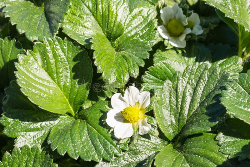 Truskawkowe rośliny z kwiatami i liśćmi r w ogródzie fotografia stock