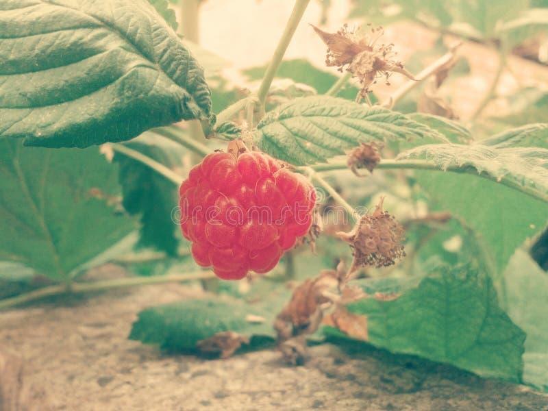 Truskawkowego smmer słodka owocowa świeżość zdjęcia stock