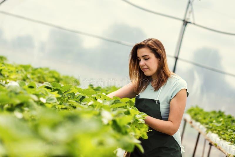 Truskawkowi hodowcy z żniwem, Rolniczy inżynier pracuje wewnątrz obraz stock
