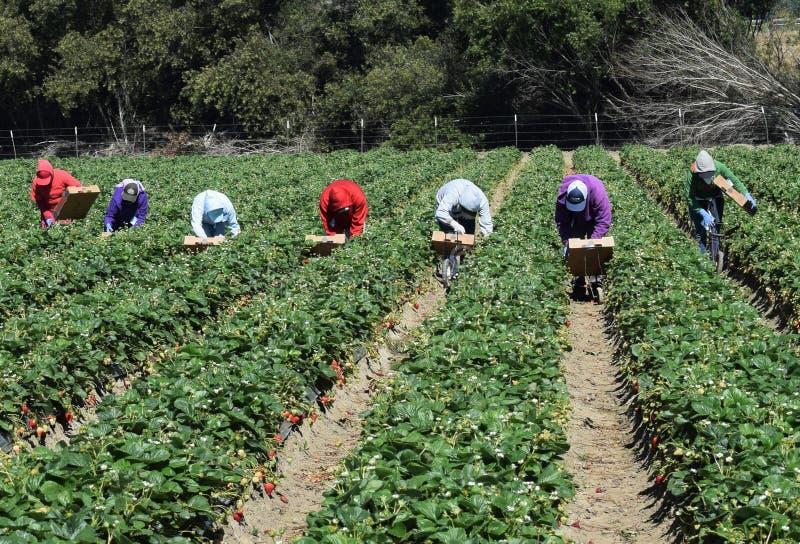 Truskawkowy żniwo w Środkowym Kalifornia zdjęcie royalty free