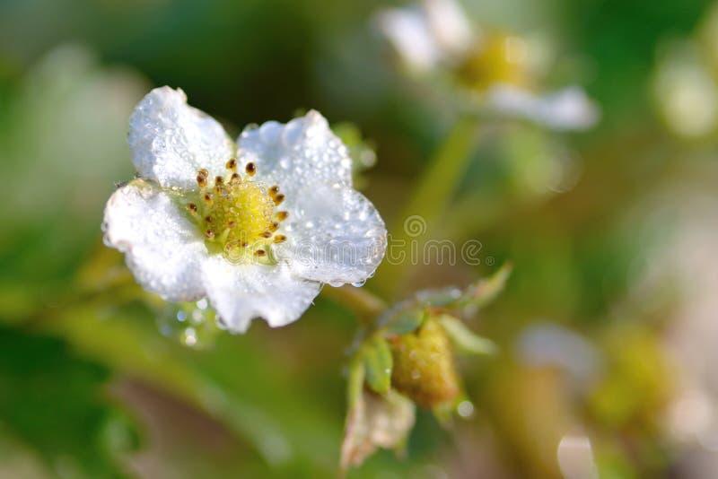 Truskawkowy kwiat fotografia royalty free